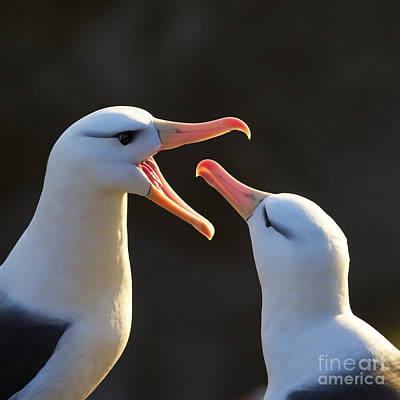 Black-browed Albatross Couple Print by Jean-Louis Klein & Marie-Luce Hubert