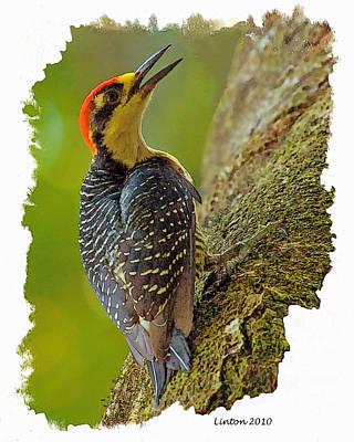 Woodpecker Digital Art - Black-cheeked Woodpecker by Larry Linton