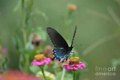 Black Swallowtail Butterfly  Print by Ruth Housley