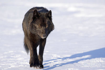 Alaska Photograph - Black Wolf In Snow by John Hyde - Printscapes