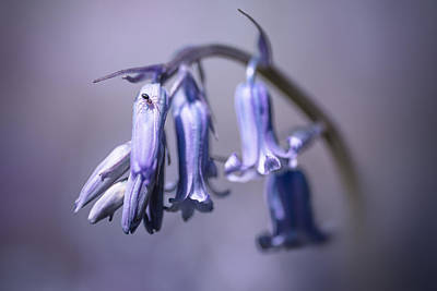 Bluebells Photograph - Bluebell by Ian Hufton
