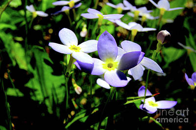 Bluets Print by Thomas R Fletcher