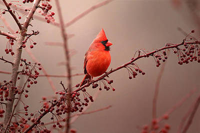 Cardinals. Wildlife. Nature Photograph - Bold Beauty by Rob Blair