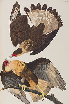 Eagle Drawing - Brasilian Caracara Eagle by John James Audubon