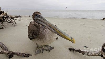 Brown Pelican  Original by Dustin K Ryan