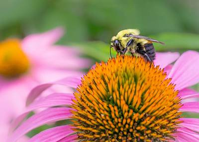 Bumble Bee On Coneflower Print by Jim Hughes