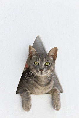 Gray Tabby Photograph - Cat In A Wall by Jean-Louis Klein and Marie-Luce Hubert