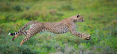 Cheetah Acinonyx Jubatus Hunting Print by Panoramic Images
