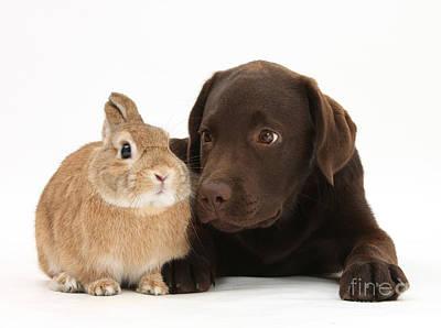 Chocolate Lab Photograph - Chocolate Lab & Netherland-cross Rabbit by Mark Taylor