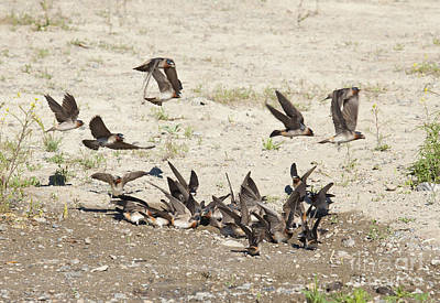Flutter Photograph - Cliff Swallows Gather Mud by Marie Read
