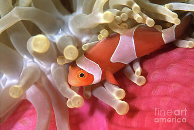Undersea Photograph - Clownfish In Sea Anemone, Indonesia by Beverly Factor