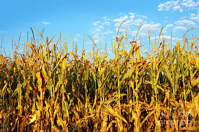 Biologic Photograph - Corn Field by Carlos Caetano