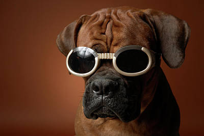 Colored Background Photograph - Dog Wearing Sunglasses by Chris Amaral