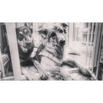 Dog Photograph - #dogs #gsd #germanshepherd by Isabella Abbie Shores