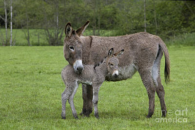 Baby Donkey Photograph - Donkey Mother And Young by Jean-Louis Klein & Marie-Luce Hubert