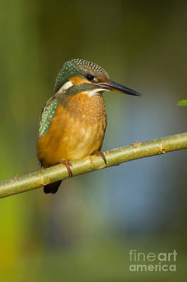 Kingfisher Photograph - European Kingfisher by Steen Drozd Lund