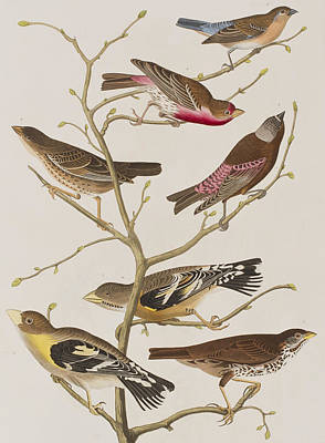 Neck Drawing - Finches by John James Audubon