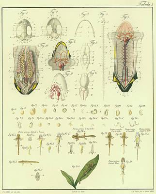 Salamanders Drawing - Fire Salamander Anatomy by Christian Leopold Mueller