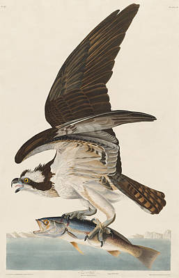 Hawk Drawing - Fish Hawk by John James Audubon
