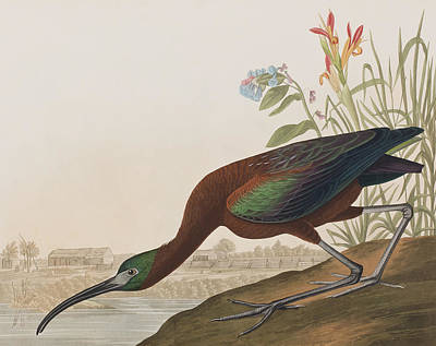 Reeds Drawing - Glossy Ibis by John James Audubon