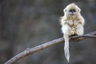 Mountain Range Photograph - Golden Snub-nosed Monkey Rhinopithecus by Cyril Ruoso