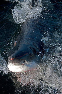 Great White Shark Carcharodon Carcharias Print by Gerard Lacz
