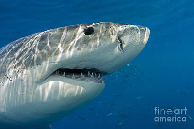Great White Shark  Carcharodon Print by Dave Fleetham