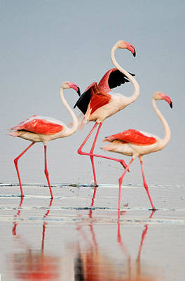 Clear Sky Photograph - Greater Flamingos Phoenicopterus Roseus by Panoramic Images