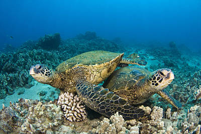 Green Sea Turtles Print by Dave Fleetham - Printscapes