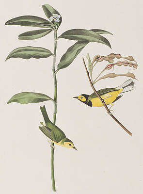 Warbler Drawing - Hooded Warbler  by John James Audubon