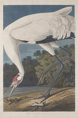 Egret Drawing - Hooping Crane by John James Audubon