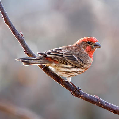 House Finch Print by Betty LaRue