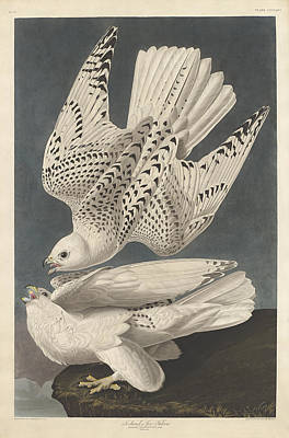 Jer Painting - Iceland Or Jer Falcon by John James Audubon
