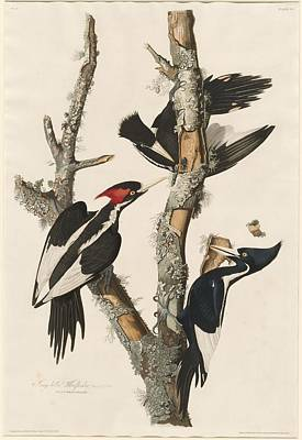 Woodpecker Drawing - Ivory-billed Woodpecker by John James Audubon