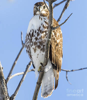 Wildlife Photograph - Juvenile Red-tailed Hawk by Ricky L Jones