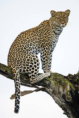 Leopard Panthera Pardus Sitting Print by Panoramic Images