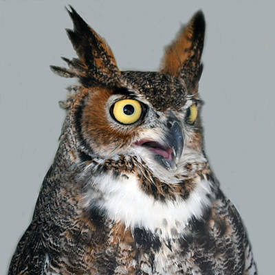 Owl Photograph - Great Horned Owl by Philip Ralley
