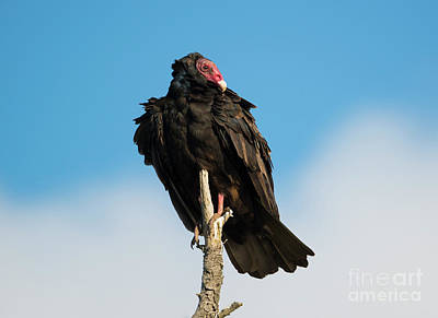Buzzard Photograph - Looking For A Meal by Mike Dawson
