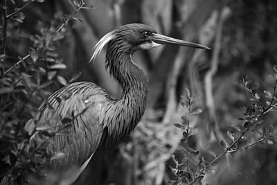 Of Birds Photograph - Louisiana Heron by Skip Willits