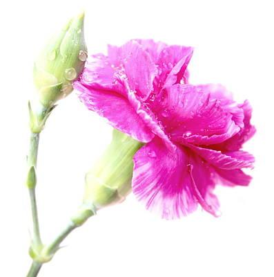 Pink Carnation Photograph - Memories Of You by Krissy Katsimbras