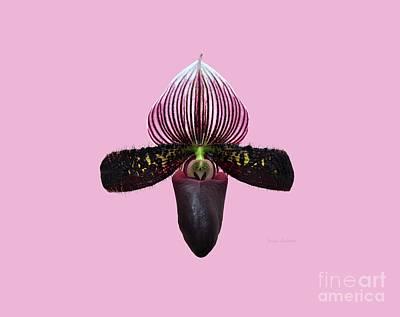 Satchel Paige Photograph - Orchid Paphiopedilum Satchel Paige X Black Beauty 2 by Susan Wiedmann