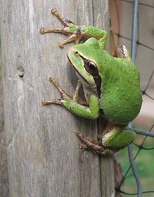 Pacific Tree Frog Print by Shannon Gresham