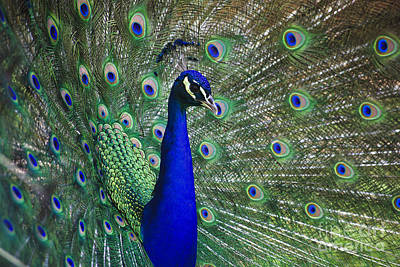 Peacock Photograph - Peacock by Jill Lang