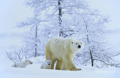 Polar Bear And Cubs Print by Jean-Louis Klein & Marie-Luce Hubert