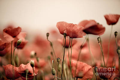 Colored Background Photograph - Poppy Dream by Nailia Schwarz