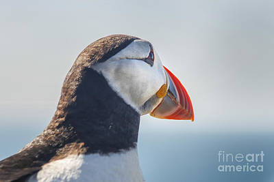 Puffin In Close Up Print by Patricia Hofmeester