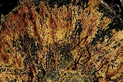 Cajal Photograph - Purkinje Nerve Cells Light Micrograph by Pasieka