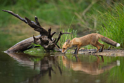 Water Reflections Photograph - Red Fox by Milan Zygmunt