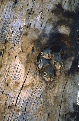 Red Squirrel Tamiasciurus Hudsonicus Print by Michael Quinton