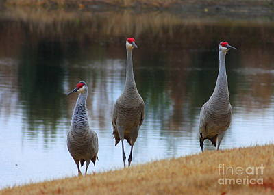 Florida Pond Photograph - Sandhill Crane Family By Pond by Carol Groenen